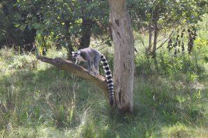 Vi stod længe og så på katte-lemurene